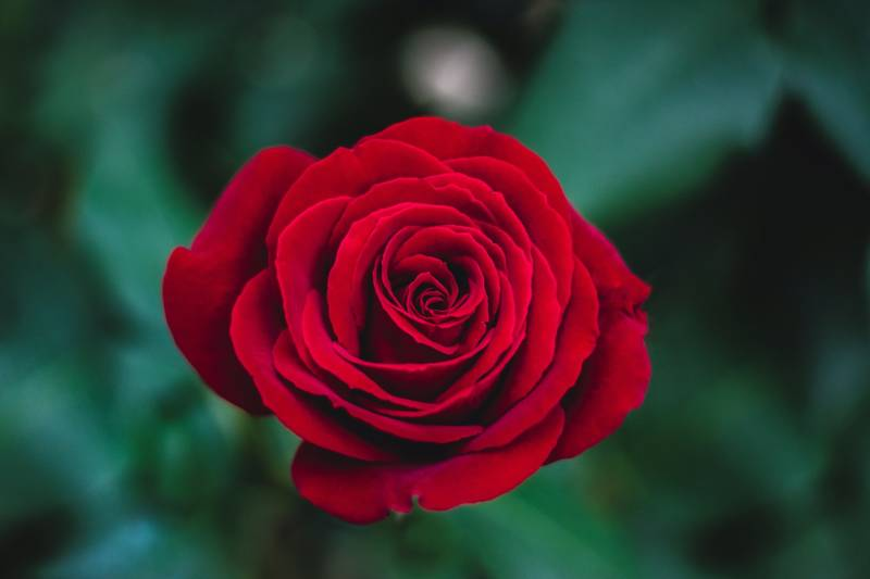 shallow focus of red rose