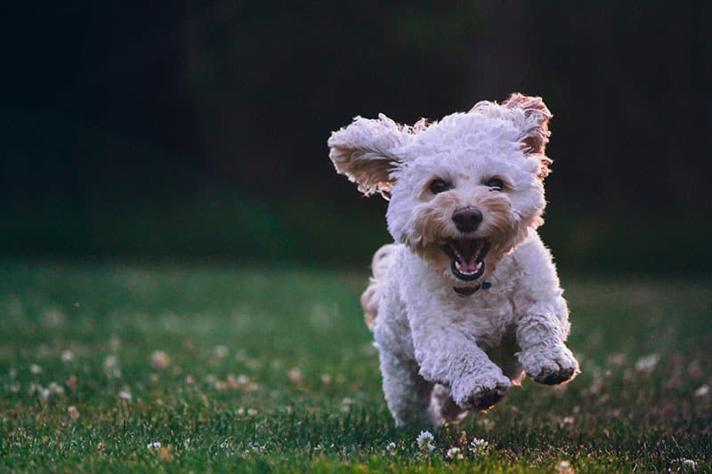 happy little dog running