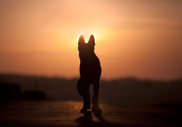 Dog back light silhouette in sunset