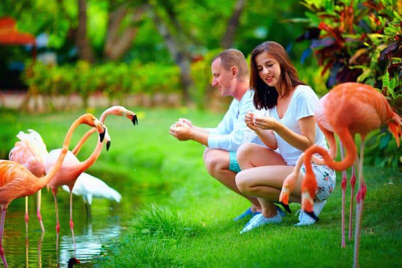 couple feeding flamingo birds at zoo