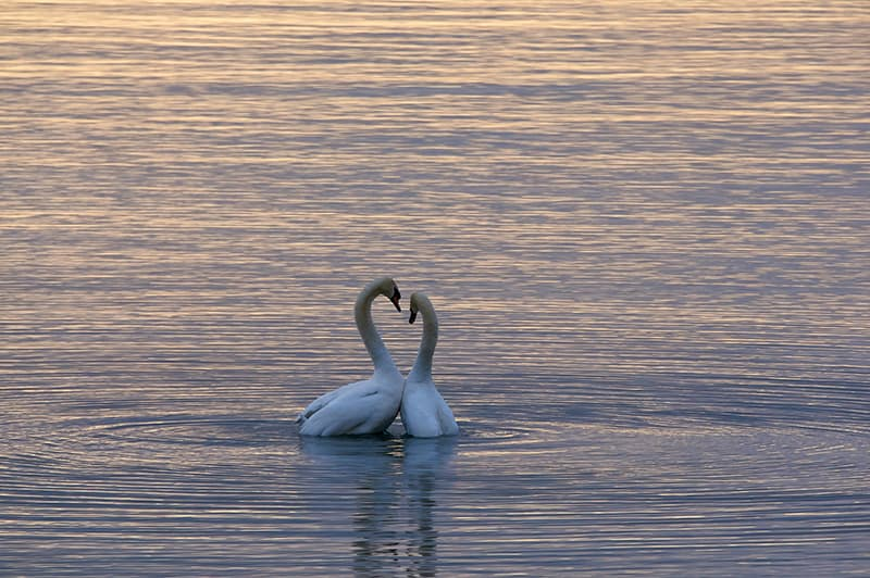two white swans on water surface during sunset