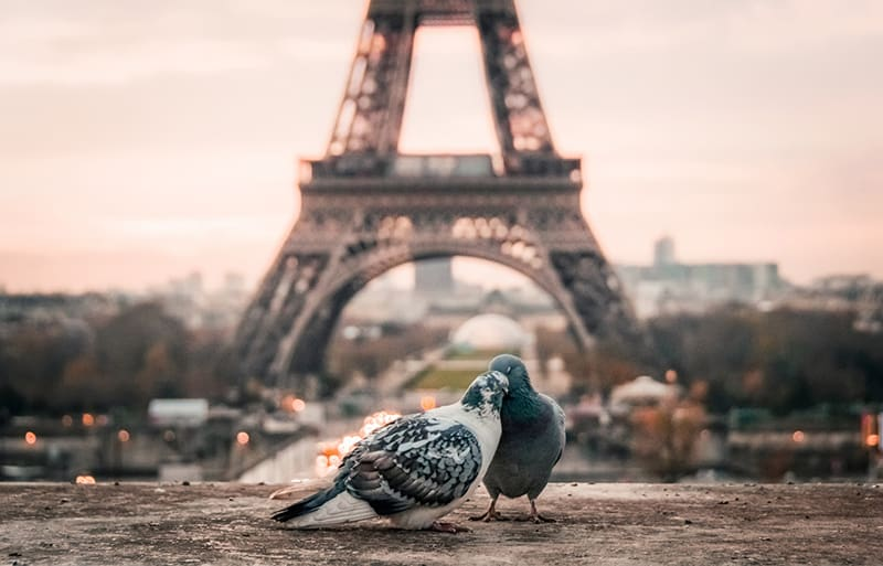 gray and black pigeons behind Eiffel Tower