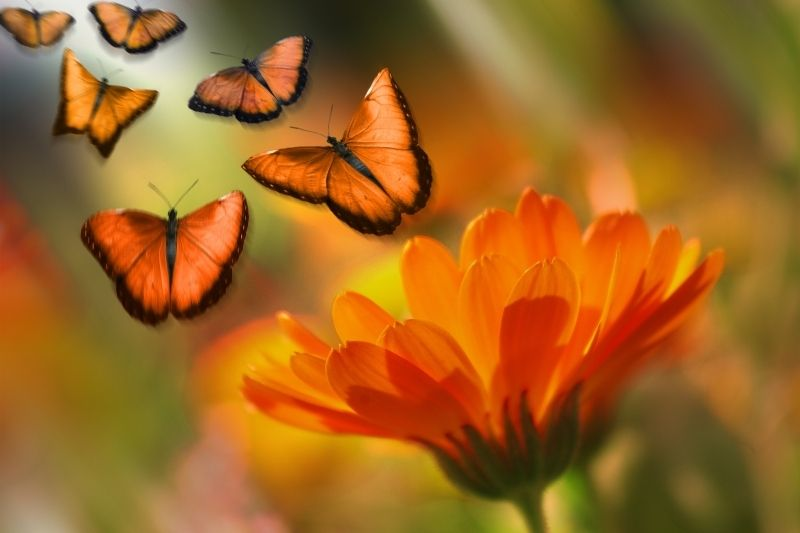 6 orange butterflies flying above an orange flower in focus photography