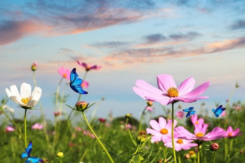 butterflies flying over the field filled with flowers during golden hour