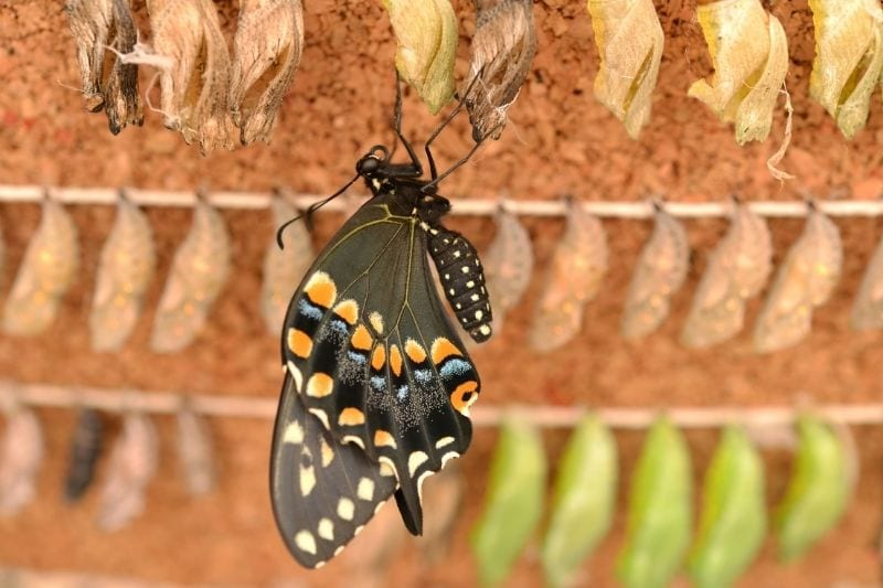 new adult butterfly emerges from its pupa/chrysalis