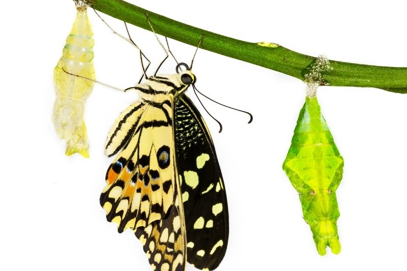 new born lime butterfly hanging near pupa/chrysalis