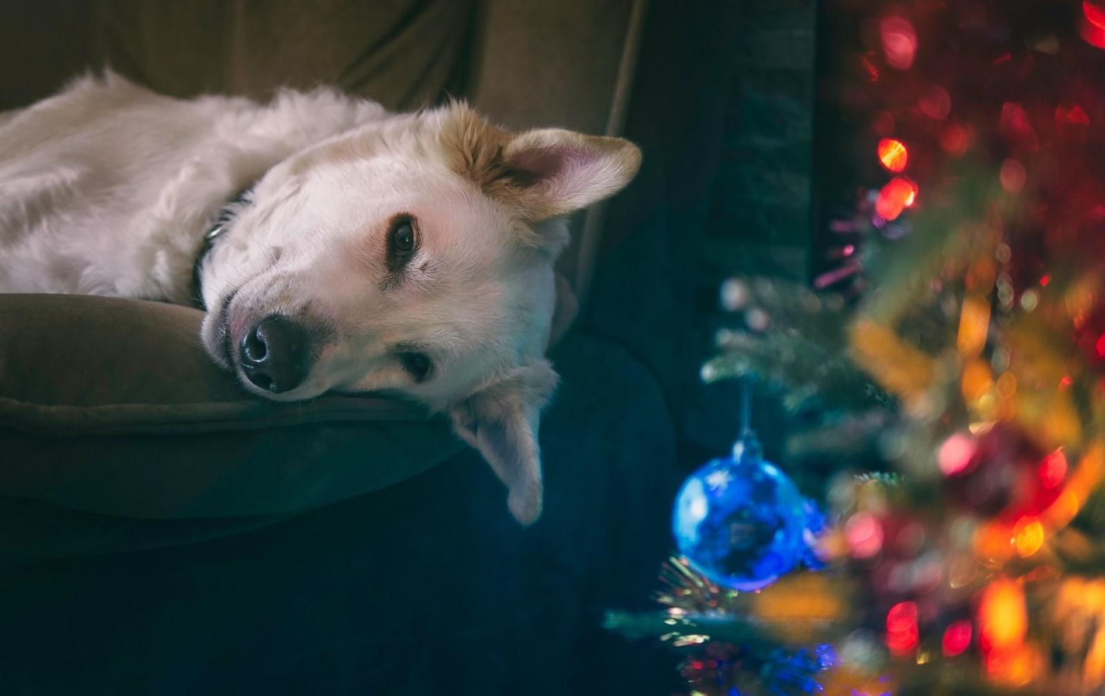white dog laying on sofa near christmas tree