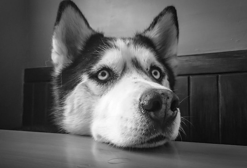 siberian husky leaning head on the table